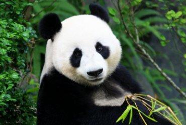 r0-59-1010-520-39d-pandasia_panda_ouwehands_dierenpark_rhenen_panda-1514479415